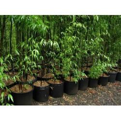 Graines de bambou noir (Phyllostachys nigra)