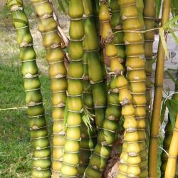 Buddha Bauch Bambus Samen 1.95 - 1