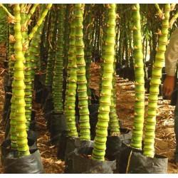 Budin Stomak Bambus Seme 1.95 - 2