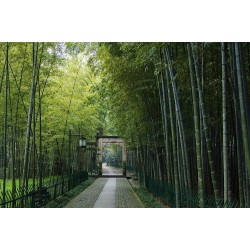 Giant Thorny Bamboo Seeds 1.6 - 1