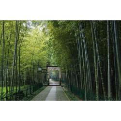 Sementes De Bambu Bambusa Arundinacea 1.6 - 1