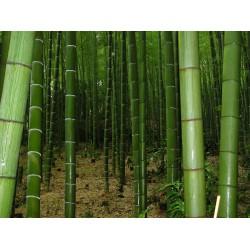 Sementes De Bambu Bambusa Arundinacea 1.6 - 2