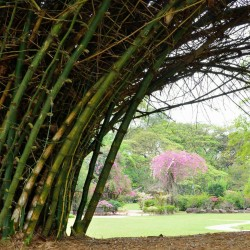 Giant Thorny Bamboo Seeds 1.6 - 3