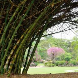 Sementes De Bambu Bambusa Arundinacea 1.6 - 3