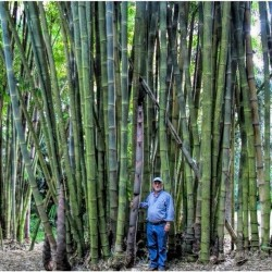 Semillas de Bambú gigante 1.6 - 4
