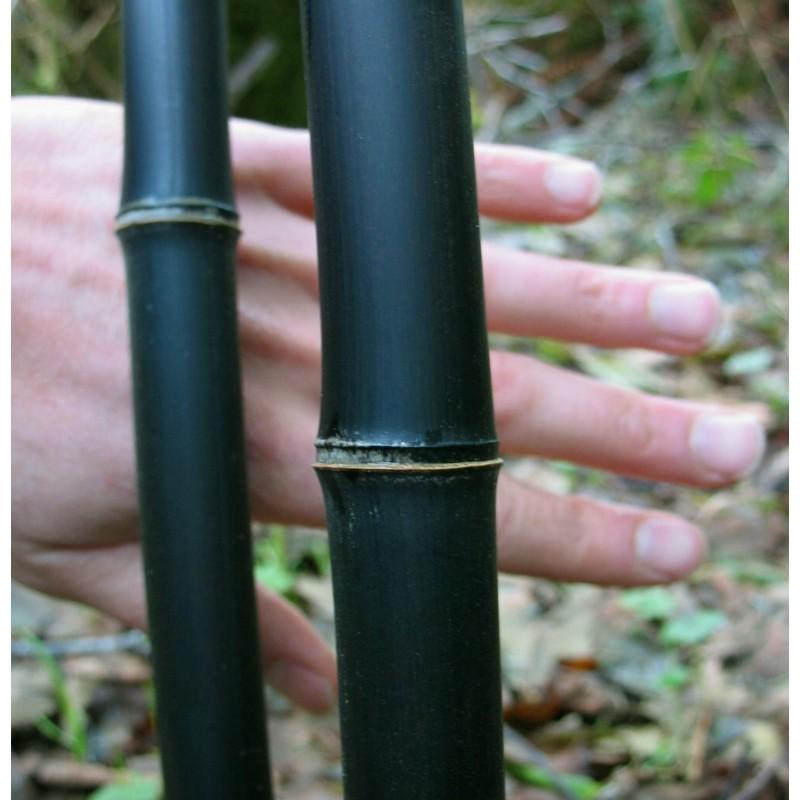 Svart Jättebambu Fröer (Phyllostachys nigra)