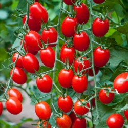 "Tomato Seeds Cherry Plum ""UNO"" 1.95 - 1"
