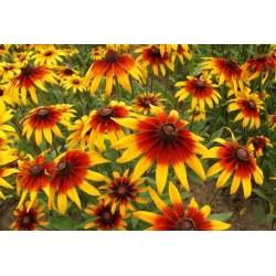 Sonnenhut Samen Heilpflanze 1.55 - 3
