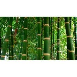 Semi di Iron Bamboo (Dendrocalamus strictus)