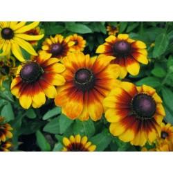 Σπόροι λουλουδιών μαυρομάτικα Susan 1.55 - 6