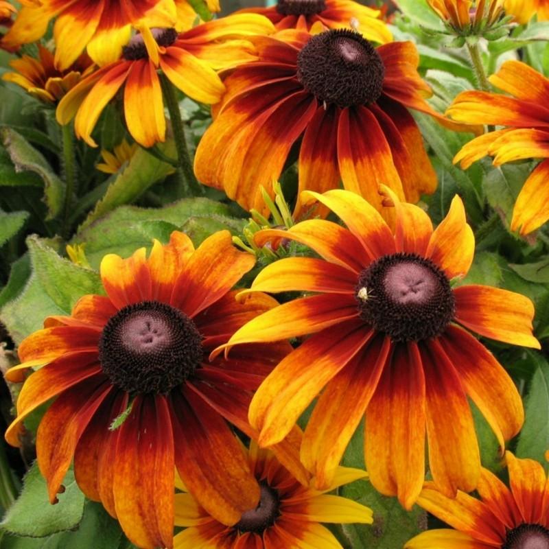 Σπόροι λουλουδιών μαυρομάτικα Susan 1.55 - 7