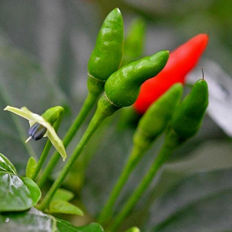Zimbabwe Bird Chili Schoten mit Samen 3.5 - 6