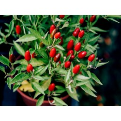 Zimbabwe Bird Chili Celi Plodovi sa Semenom 3.5 - 4