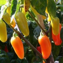 Chili Samen 'Numex Pinata' 1.75 - 1