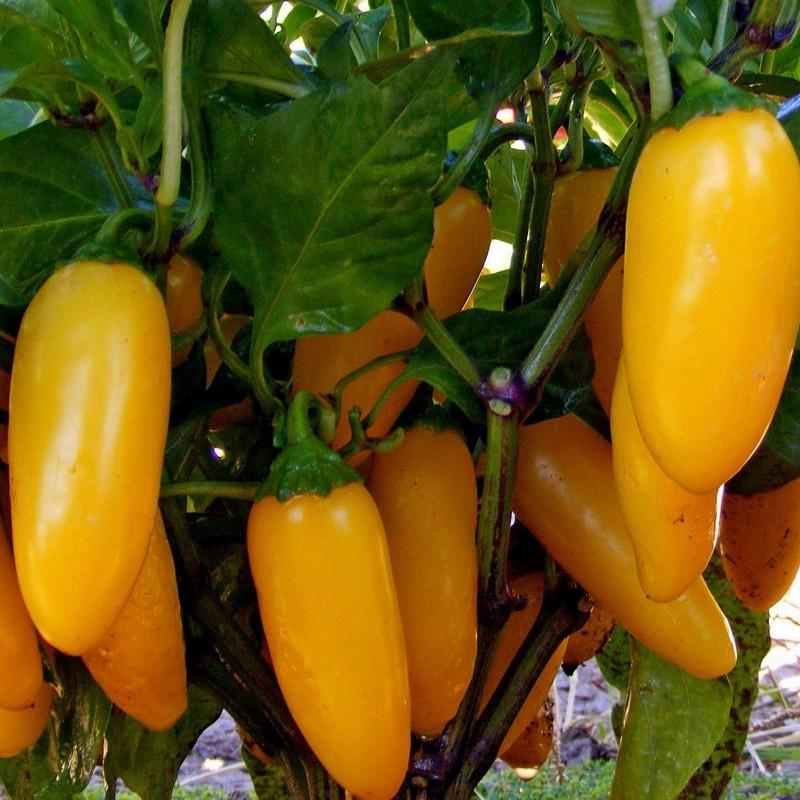 Chili Samen 'Numex Pinata' 1.75 - 3