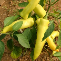 Hungarian Hot Wax Chili Samen 2 - 2