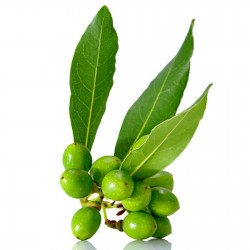 100 Sementes Loureiro ou Louro (Laurus nobilis) 15 - 1