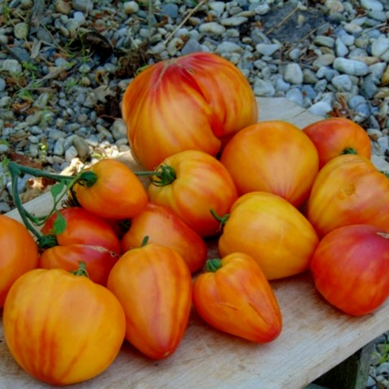 Graines Tomate ancienne bigarrée 'Orange Russian' 1.8 - 4