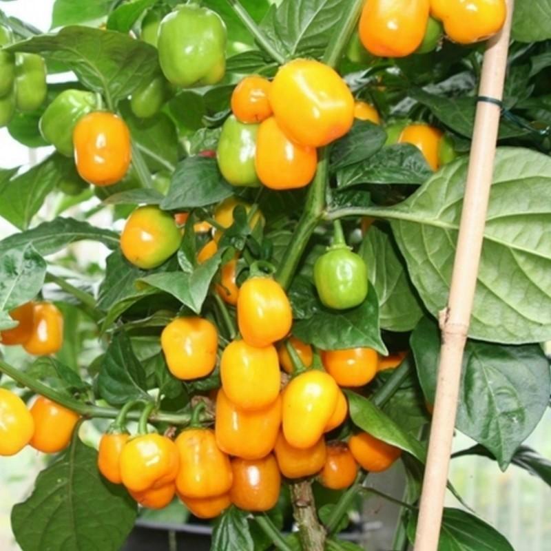 Graines de Piments Habanero Apple Orange 2.5 - 1