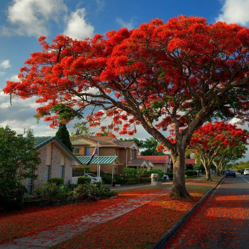 Royal Poinciana, Flamboyant Seeds (Delonix regia) 2.25 - 1
