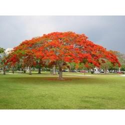 Το Δέντρο της Φωτιάς Σπόροι (Delonix regia) 2.25 - 4