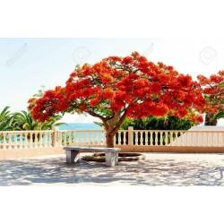 Το Δέντρο της Φωτιάς Σπόροι (Delonix regia) 2.25 - 6