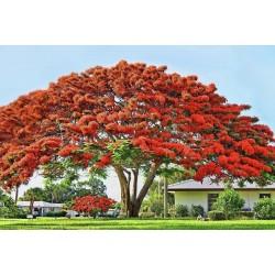 Vatreno drvo seme (Delonix regia) 2.25 - 8