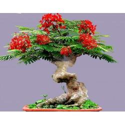 Το Δέντρο της Φωτιάς Σπόροι (Delonix regia) 2.25 - 3