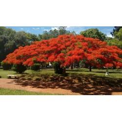 Flammenbaum Samen (Delonix regia) 2.25 - 9