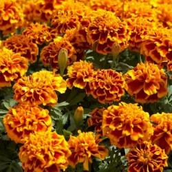 Seme cveca Kadifa Niska 1.45 - 1