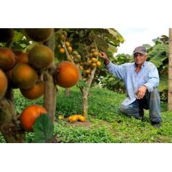 Lulo Samen Naranjilla (Solanum quitoense) 2.45 - 3