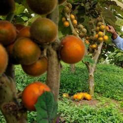 Naranjilla Lulo Seme (Solanum quitoense) 2.45 - 2