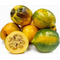 Semi di melanzane pelose - Tarambulo (Solanum ferox) 2 - 1