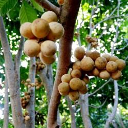 Langsat - Lanzones Seeds (Lansium parasiticum) 4.95 - 2