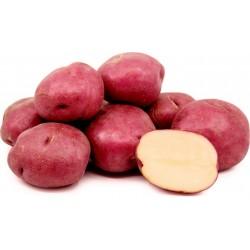 Red Skin - White Flesh KENNEBEC Potato Seeds 1.95 - 2