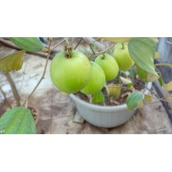 Indian Jujube Seeds (Ziziphus mauritiana) 3.5 - 4