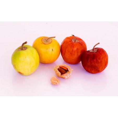 Indian Jujube Seeds (Ziziphus mauritiana) 3.5 - 5
