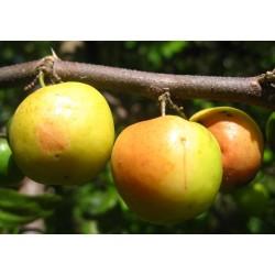 Indian Jujube Seeds (Ziziphus mauritiana) 3.5 - 8