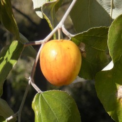 Indian Jujube Seeds (Ziziphus mauritiana) 3.5 - 2