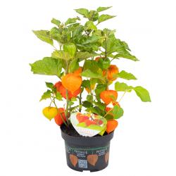 Lampionblume Samen (Physalis alkekengi) 1.55 - 2