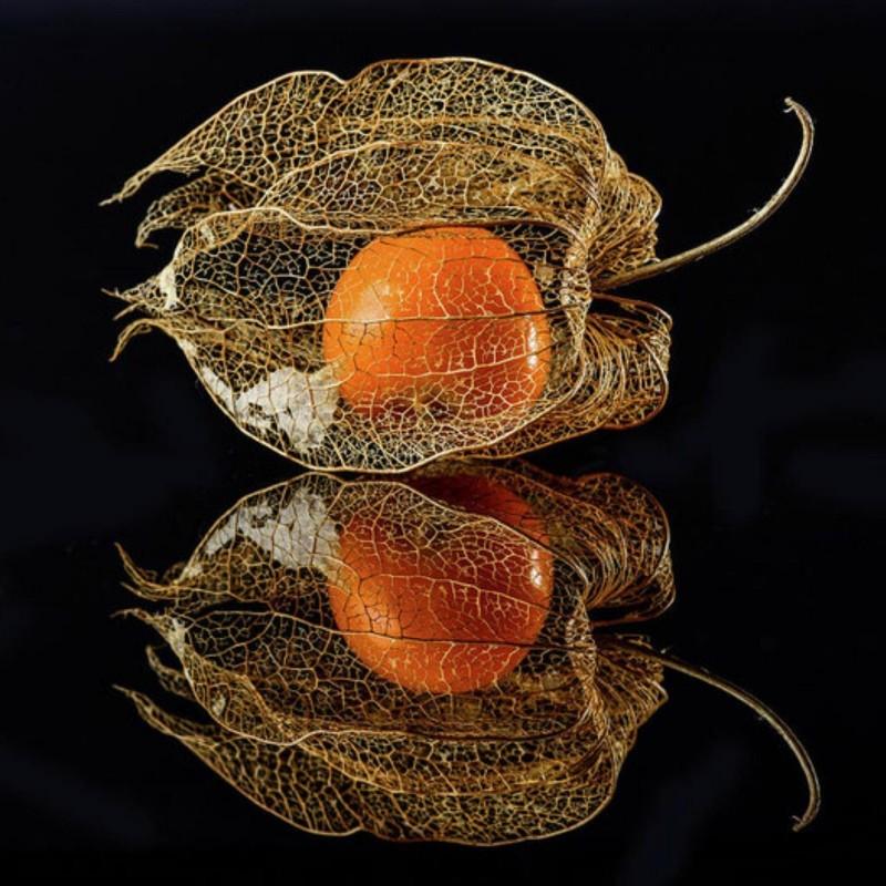Semi di Physalis Franchetii gigantea 1.55 - 7