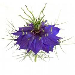 Jungfer im Grünen Blau Samen (Nigella damascena) 1.95 - 1