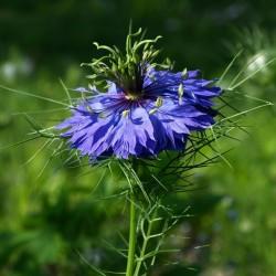 Jungfer im Grünen Blau Samen (Nigella damascena) 1.95 - 6