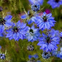 Jungfer im Grünen Blau Samen (Nigella damascena) 1.95 - 2