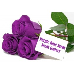Purple Rose Seeds 2.5 - 2