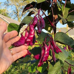 Hyacinth Bean, Lablab-Bean Seeds (Lablab purpureus) 2.049999 - 3