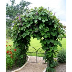 Hyacinth Bean, Lablab-Bean Seeds (Lablab purpureus) 2.049999 - 4