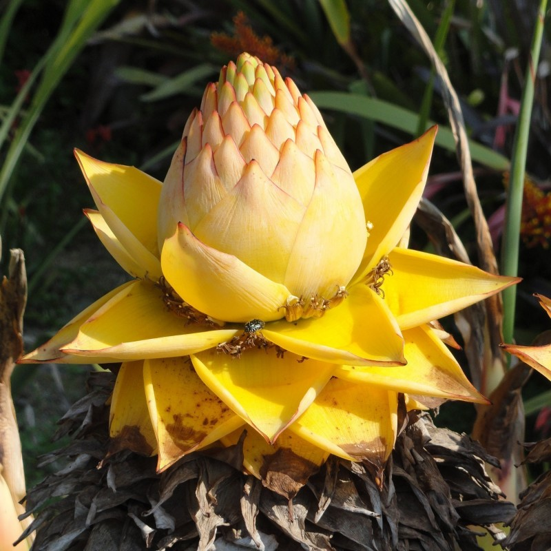 Semillas Plátano enano chino, Golden Lotus plátano 3.95 - 12