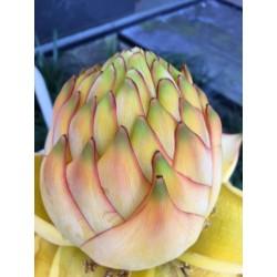 Semillas Plátano enano chino, Golden Lotus plátano 3.95 - 4