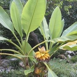 Semillas Plátano enano chino, Golden Lotus plátano 3.95 - 5